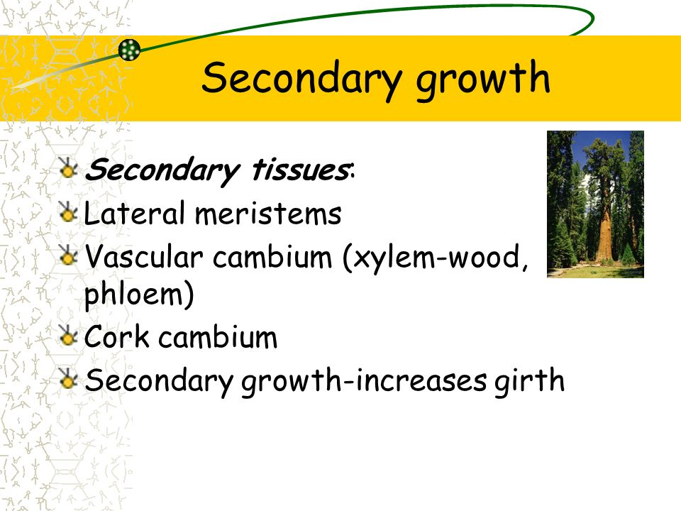 Secondary growth Secondary tissues: Lateral meristems