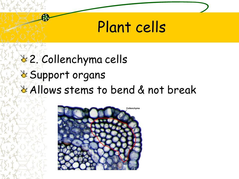 Plant cells 2. Collenchyma cells Support organs