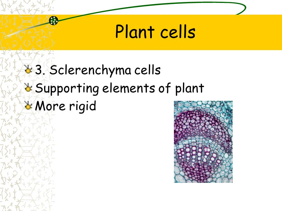 Plant cells 3. Sclerenchyma cells Supporting elements of plant