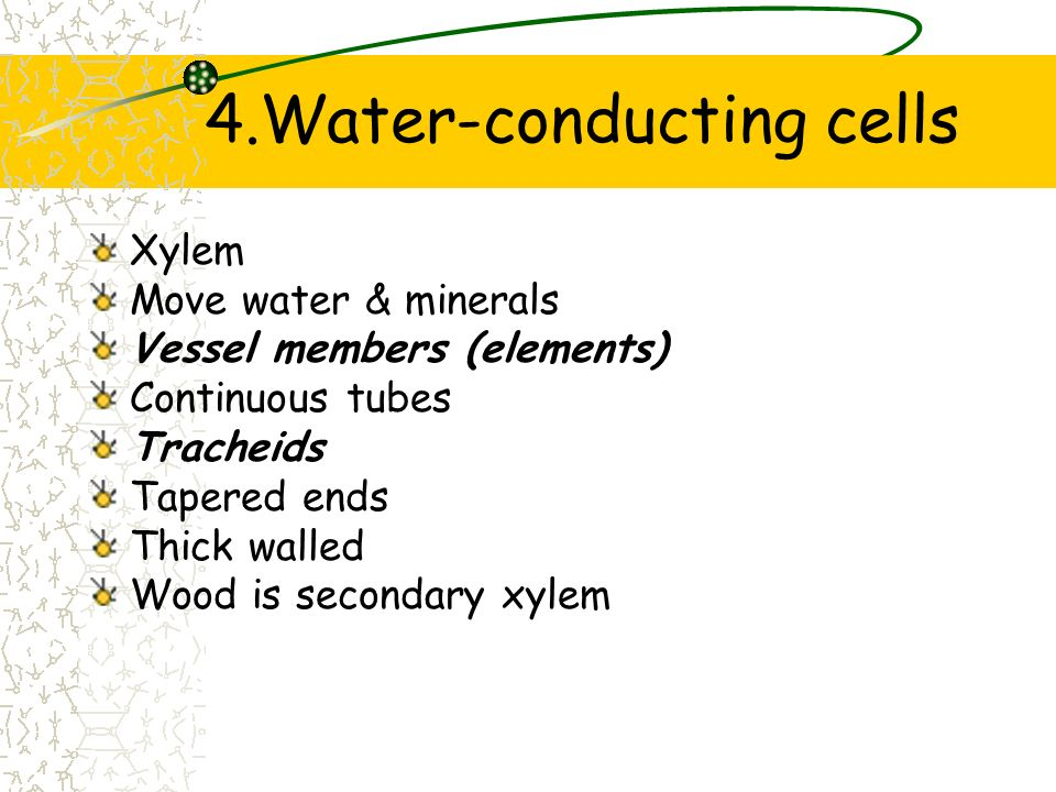 4.Water-conducting cells
