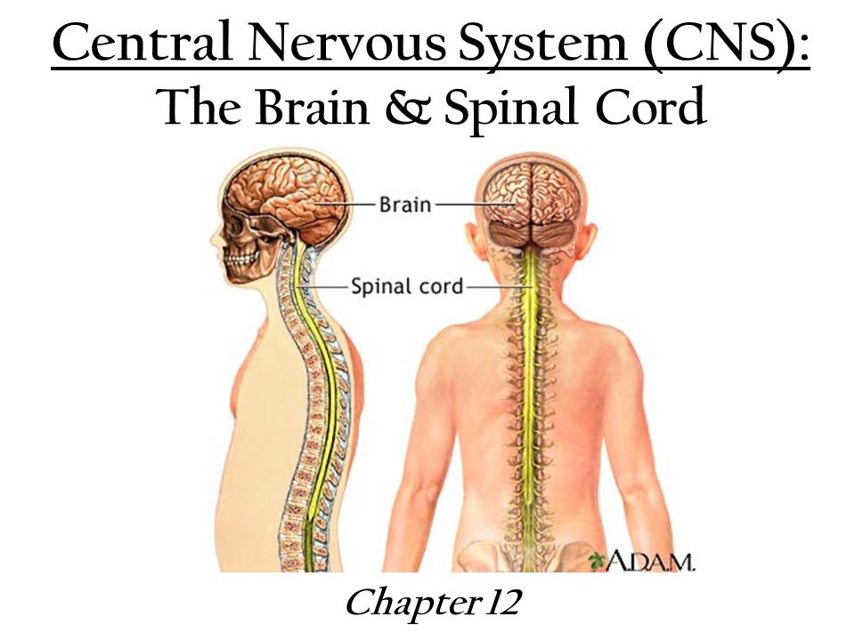Central Nervous System (CNS): The Brain & Spinal Cord - ppt video ...