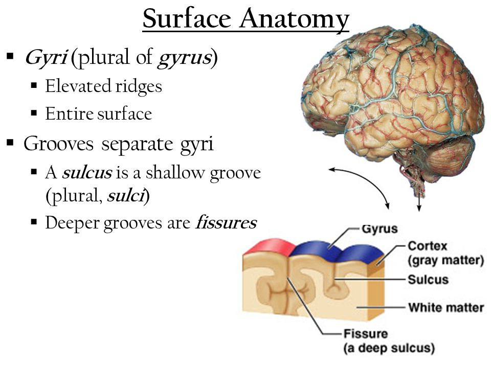 Exelent Surface Anatomy Of Brain Crest - Anatomy Ideas - yunoki.info