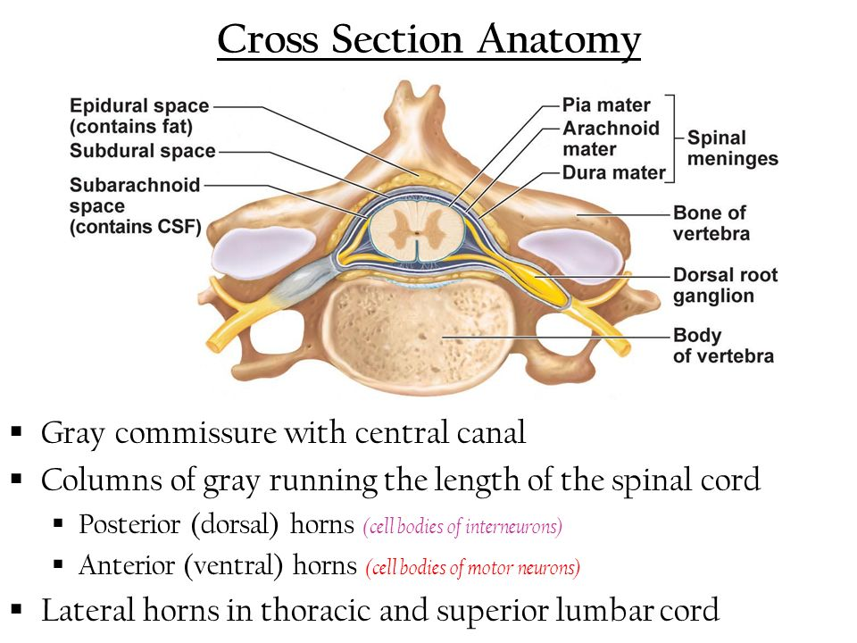 Spinal Cord Cross Section Unlabeled
