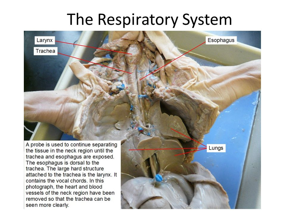Fetal pig dissection ppt video online download 29 the respiratory system ccuart Gallery