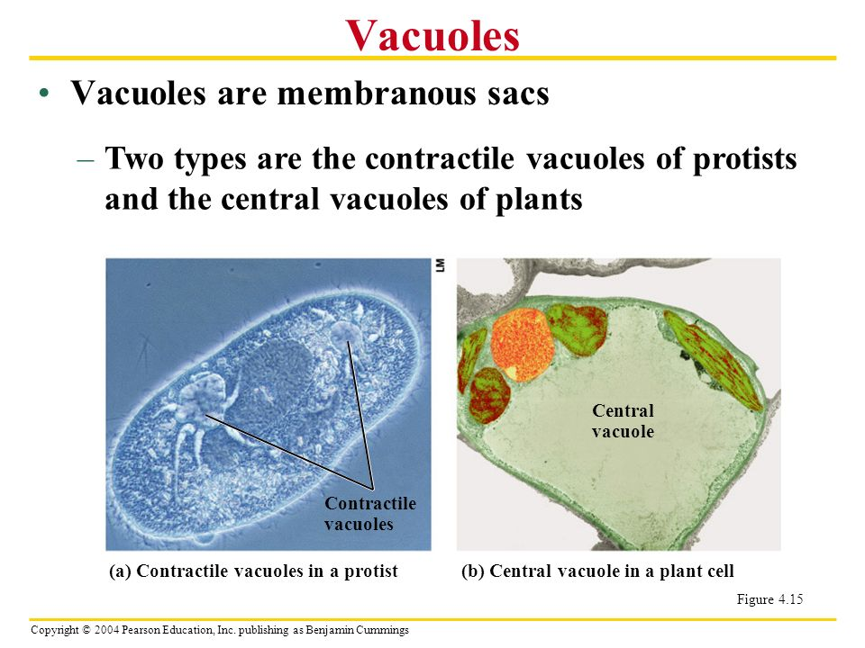 Cell Size is Limited Surface to Volume Ratio limits upper ... Contractile Vacuole In A Cell