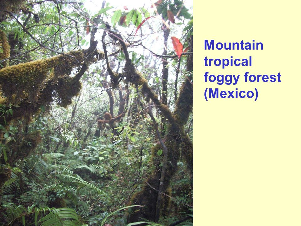 Mountain tropical foggy forest (Mexico)