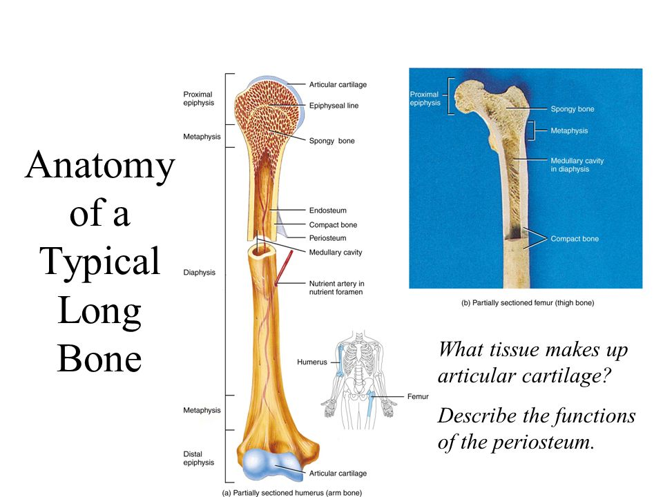Anatomy of a typical long bone