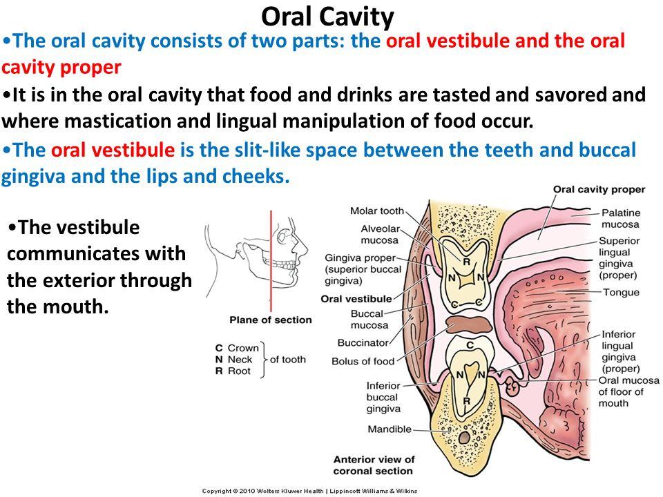 Oral cavity anatomy ppt