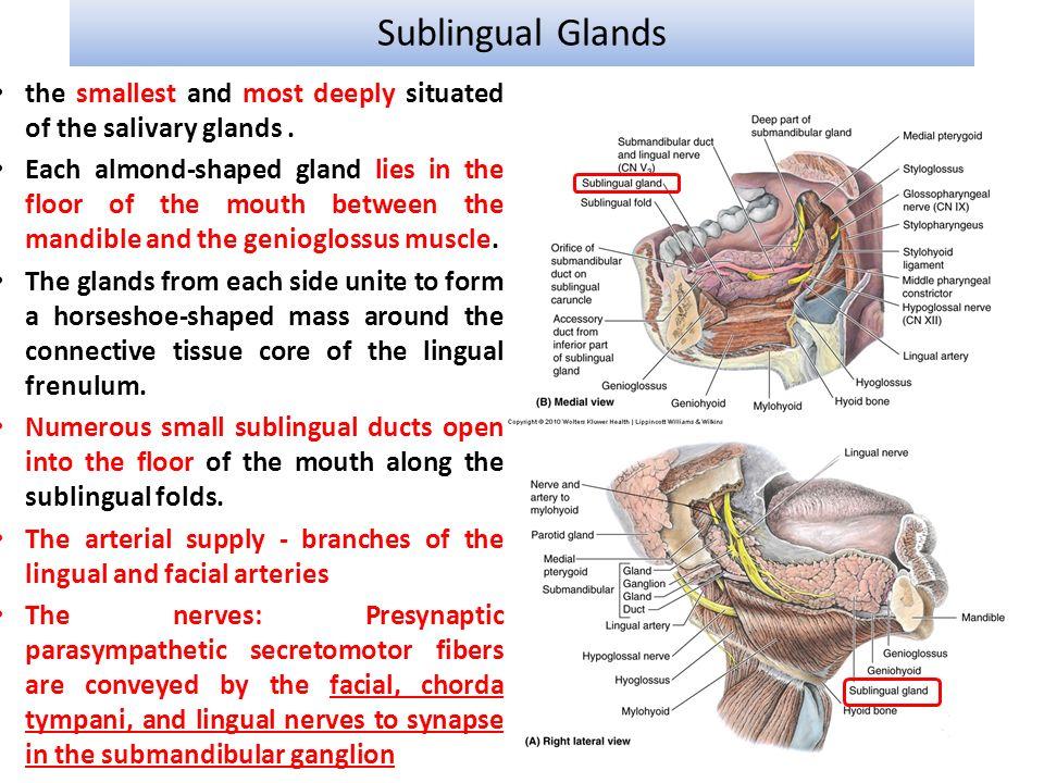 Amazing Submandibular Salivary Gland Anatomy Image Collection ...