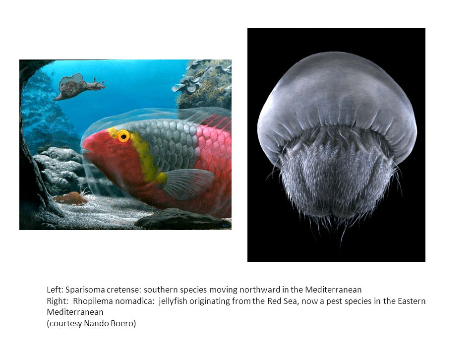 Left: Sparisoma cretense: southern species moving northward in the Mediterranean Right: Rhopilema nomadica: jellyfish originating from the Red Sea, now a pest species in the Eastern Mediterranean (courtesy Nando Boero)