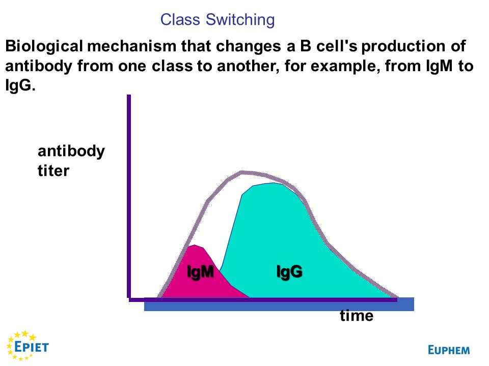 Class Switching Biological mechanism that changes a B cell s production of antibody from one class to another, for example, from IgM to IgG.