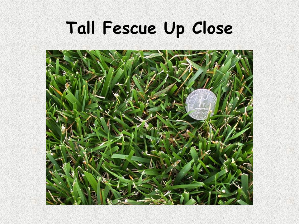 Tall Fescue Up Close