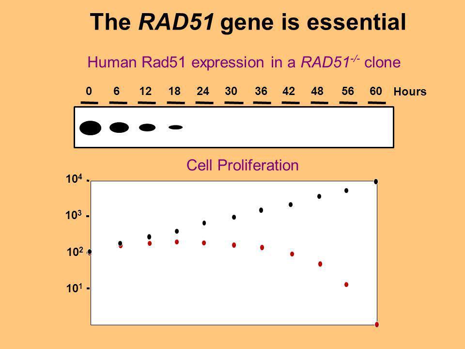 The RAD51 gene is essential