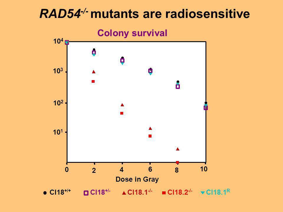 RAD54-/- mutants are radiosensitive