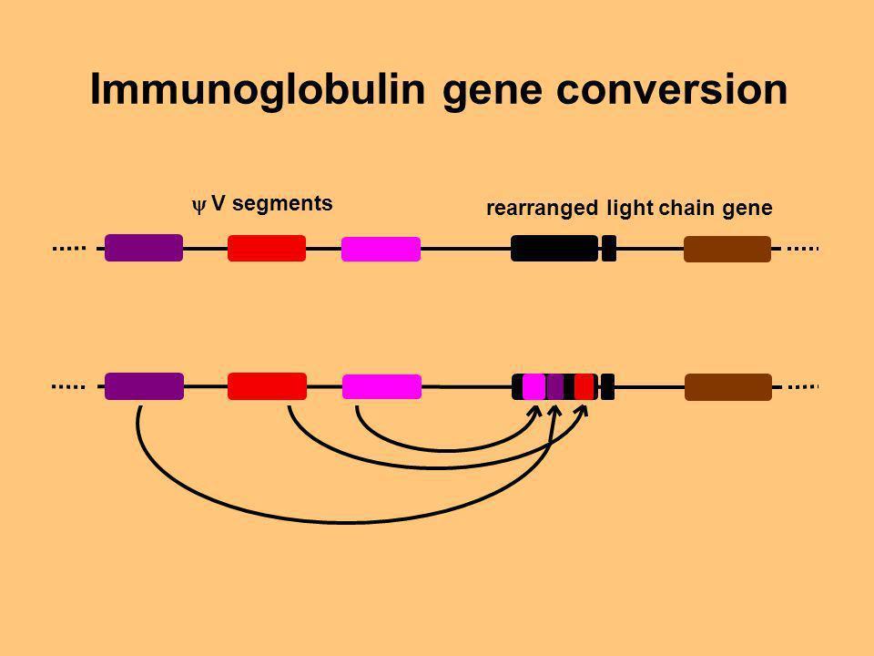 Immunoglobulin gene conversion