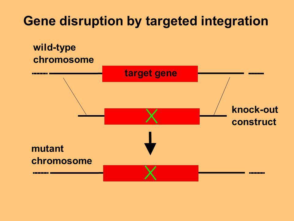 Gene disruption by targeted integration