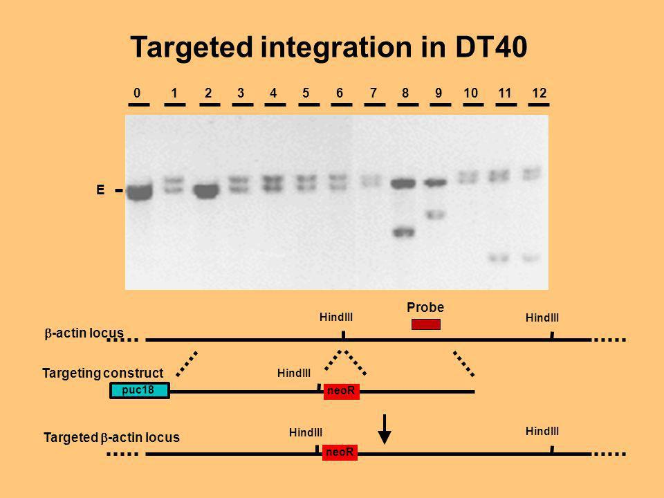 Targeted integration in DT40