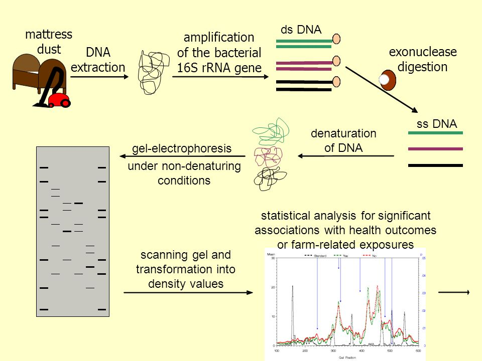 amplification of the bacterial 16S rRNA gene mattress dust
