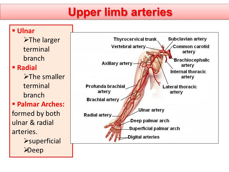 Upper limb arteries Ulnar The larger terminal branch Radial