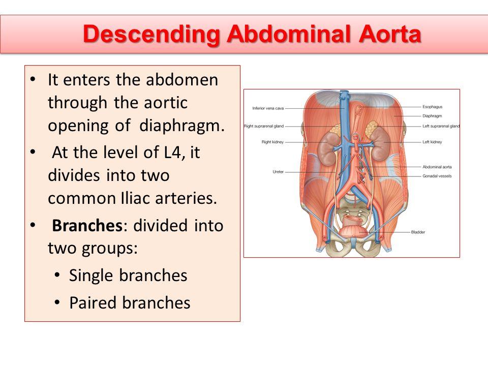 Descending Abdominal Aorta