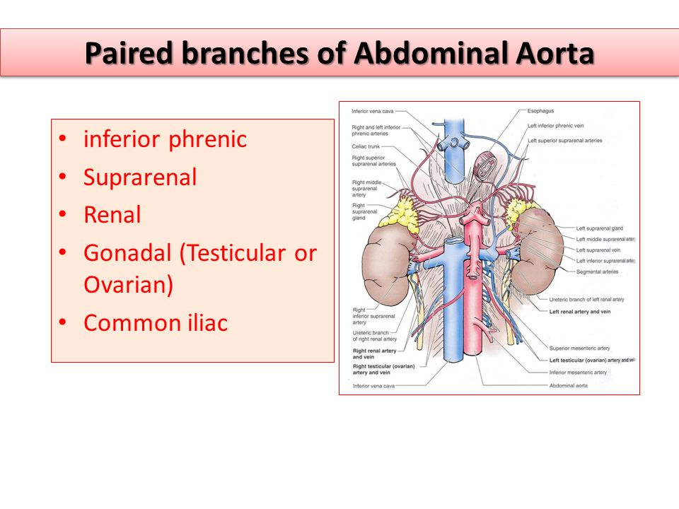 Paired branches of Abdominal Aorta