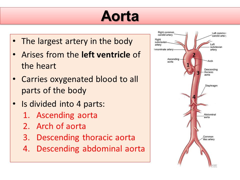 Aorta The largest artery in the body