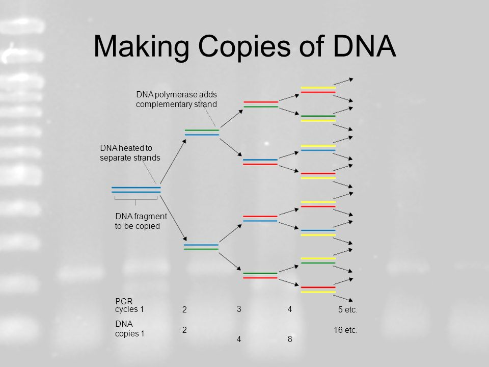 Making Copies of DNA DNA polymerase adds complementary strand