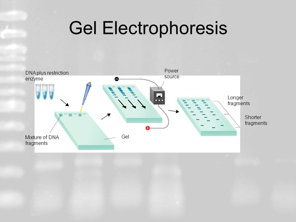 Gel Electrophoresis Power source DNA plus restriction enzyme