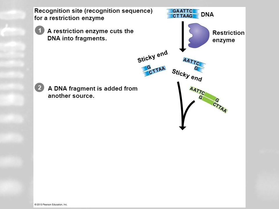 Restriction Enzymes Recognition site (recognition sequence)