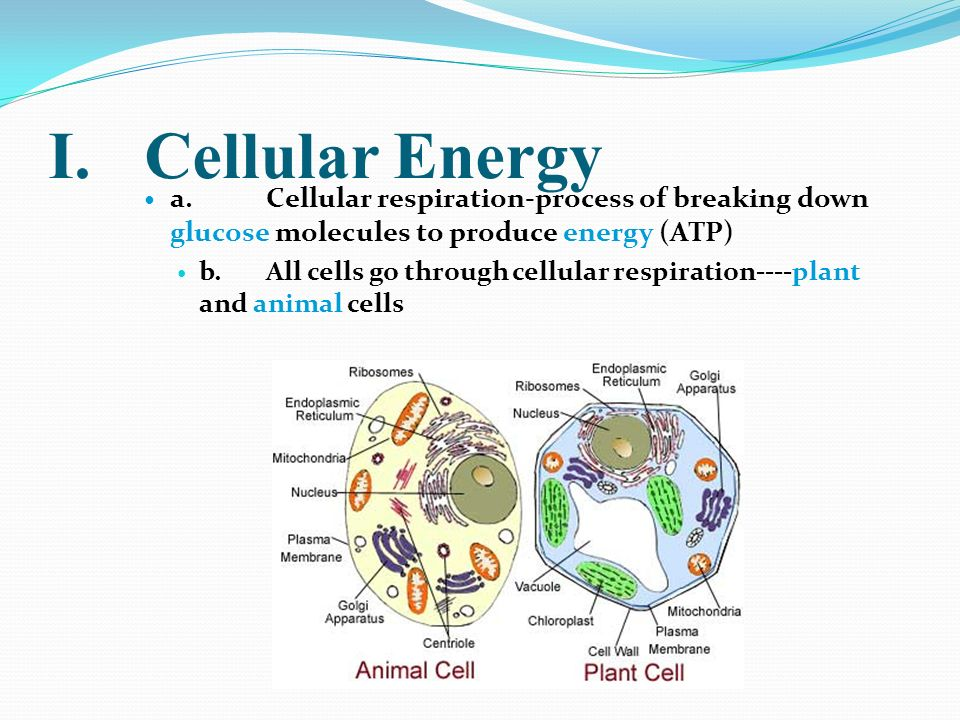 I. Cellular Energy a. Cellular respiration-process of breaking down glucose molecules to produce energy (ATP)