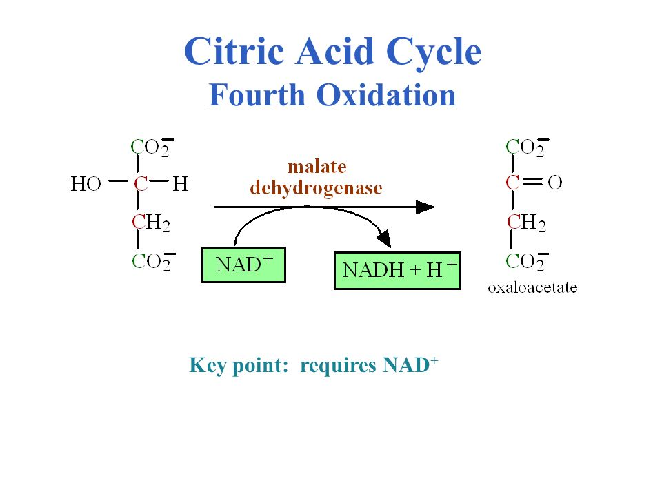 Citric Acid Cycle Fourth Oxidation