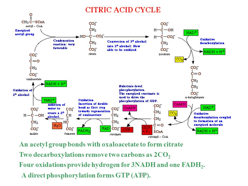 An acetyl group bonds with oxaloacetate to form citrate