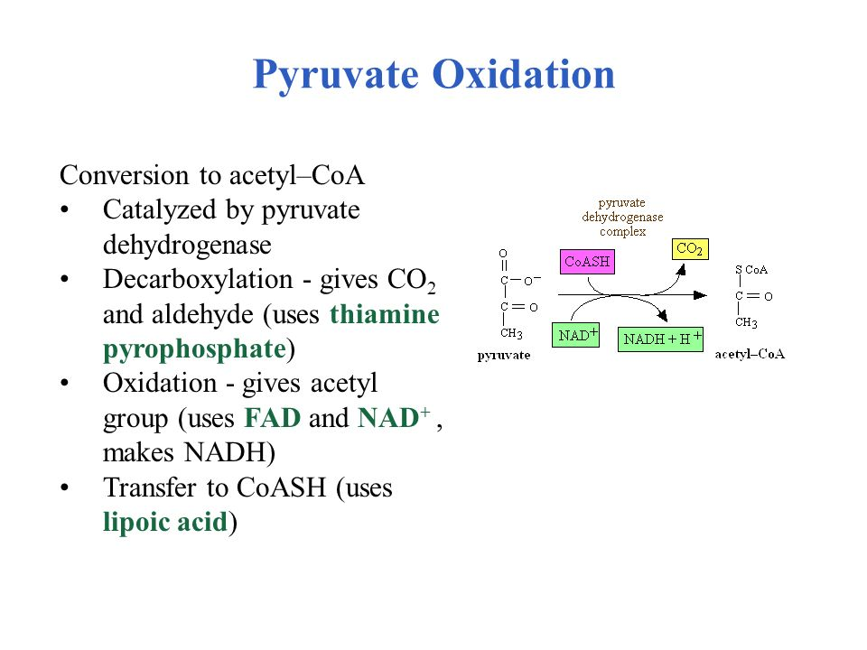 Pyruvate Oxidation Conversion to acetyl–CoA
