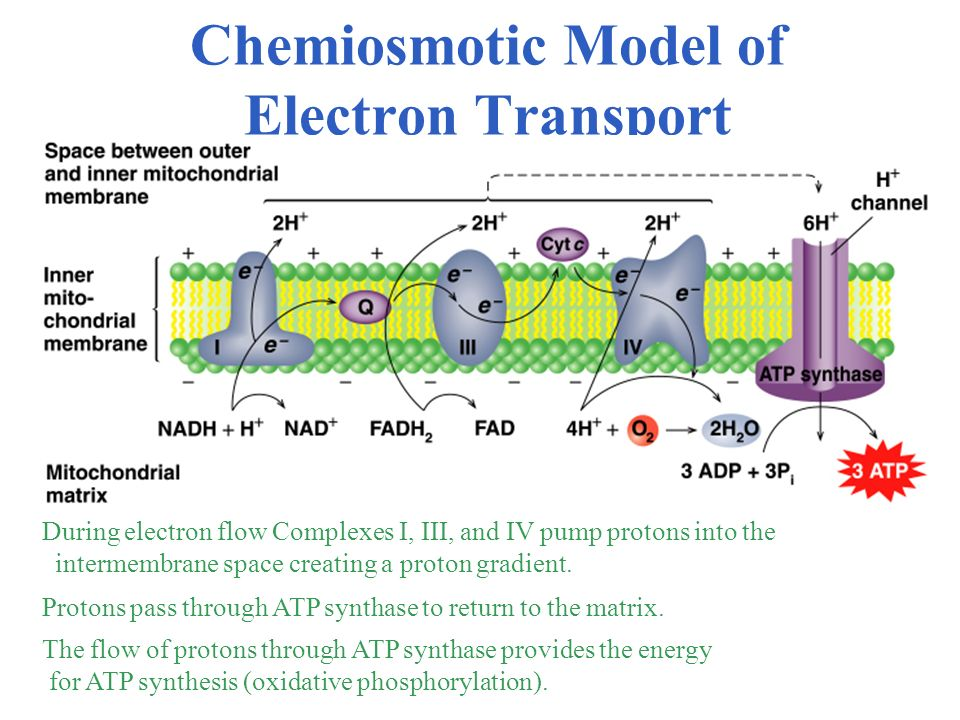 Chemiosmotic Model of Electron Transport