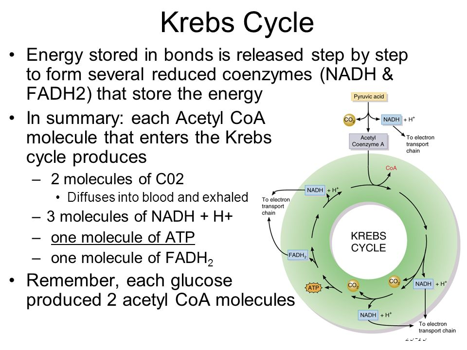 Krebs Cycle Energy stored in bonds is released step by step to form several reduced coenzymes (NADH & FADH2) that store the energy.