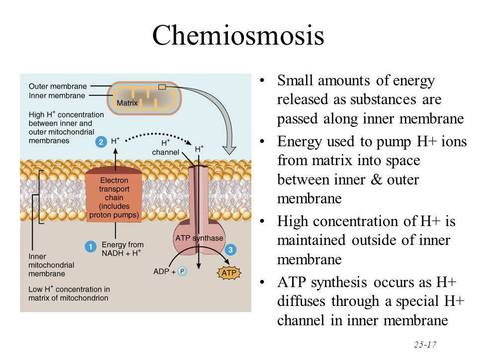 Chemiosmosis Small amounts of energy released as substances are passed along inner membrane.