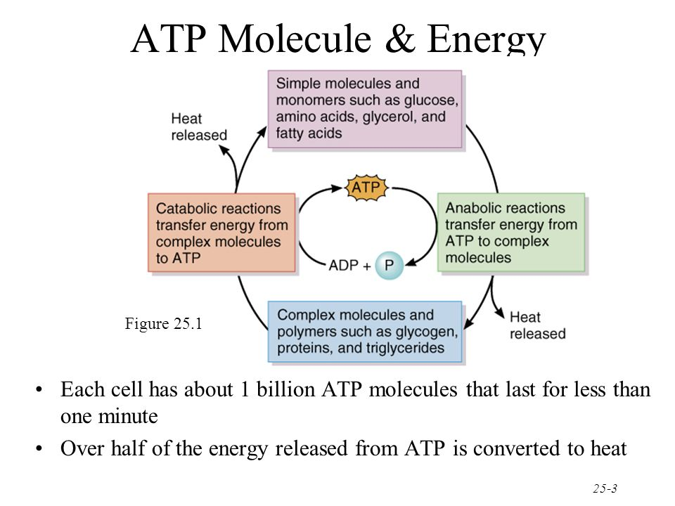 ATP Molecule & Energy Figure Each cell has about 1 billion ATP molecules that last for less than one minute.