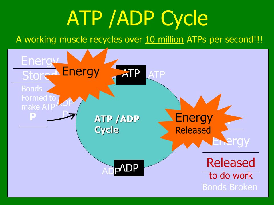 Ch. 8.1 & 9 ATP, Cellular Respiration And Photosynthesis