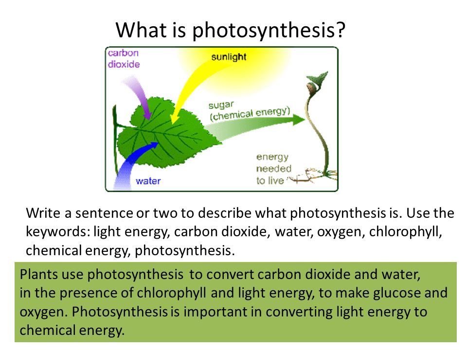 chlorophyll and photosynthesis Biocoach activity concept 7: chlorophyll chlorophyll molecules embedded in the thylakoid membrane absorb light energy these molecules are the most important pigments for absorbing the light energy used in photosynthesis.