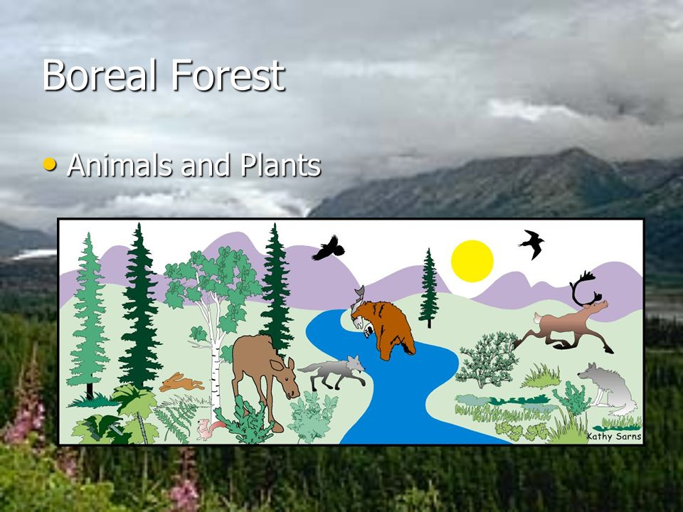 Boreal Forest Animals and Plants