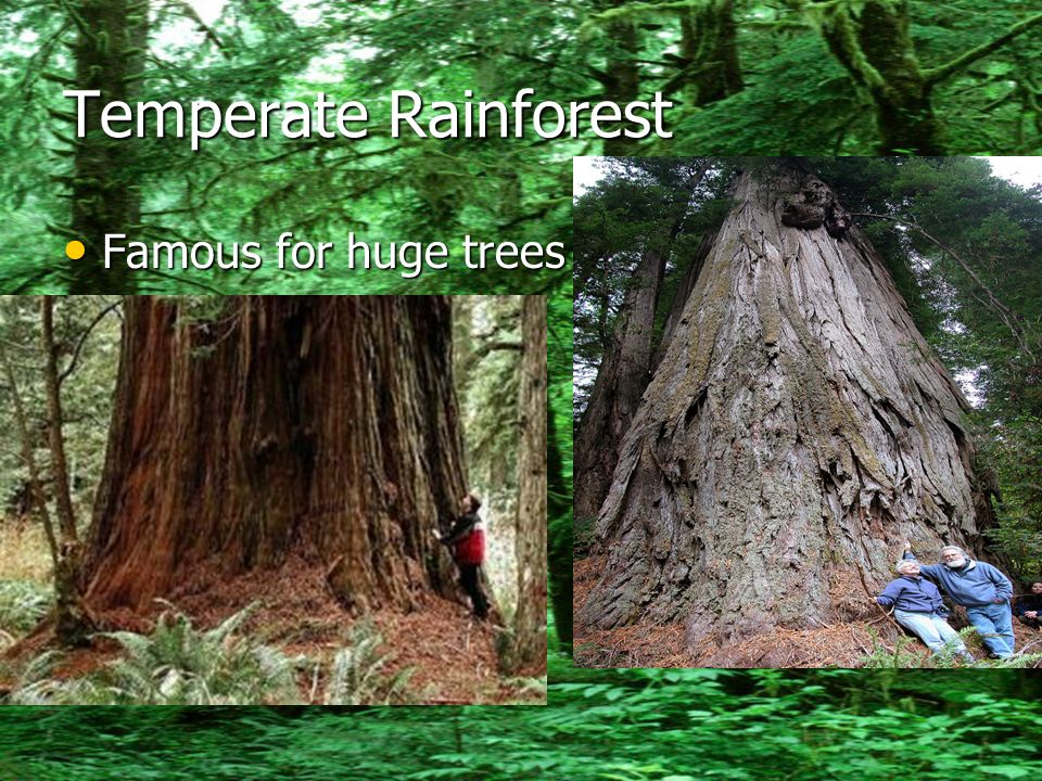 Temperate Rainforest Famous for huge trees