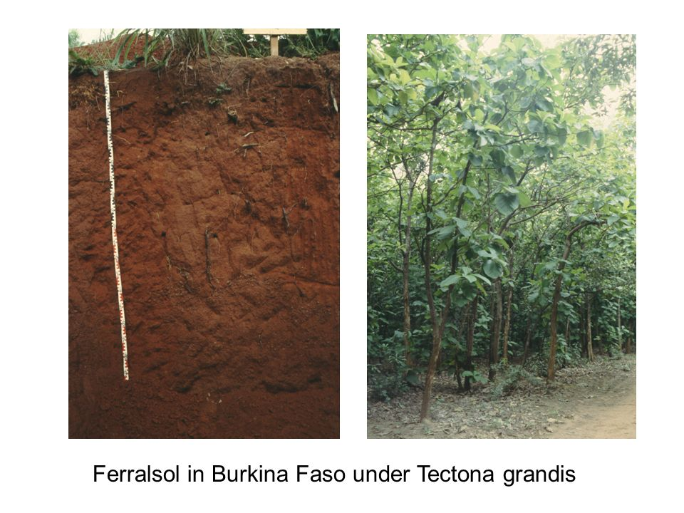 Ferralsol in Burkina Faso under Tectona grandis