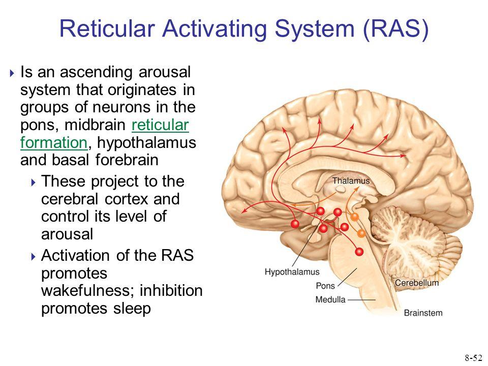 Enchanting Reticular Activating System Anatomy Illustration ...