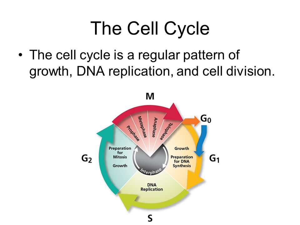 The Cell Cycle The cell cycle is a regular pattern of growth, DNA replication, and cell division.