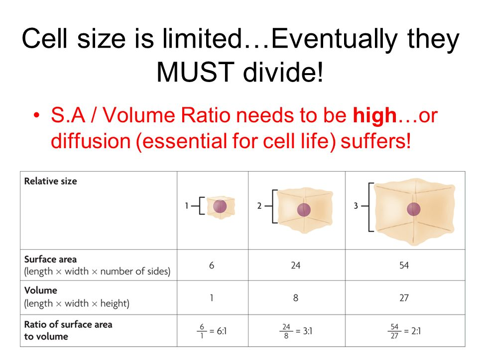 Cell size is limited…Eventually they MUST divide!