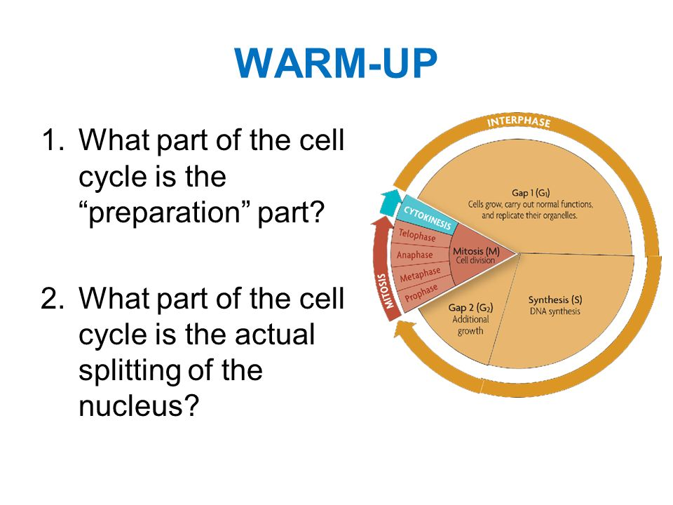 WARM-UP What part of the cell cycle is the preparation part