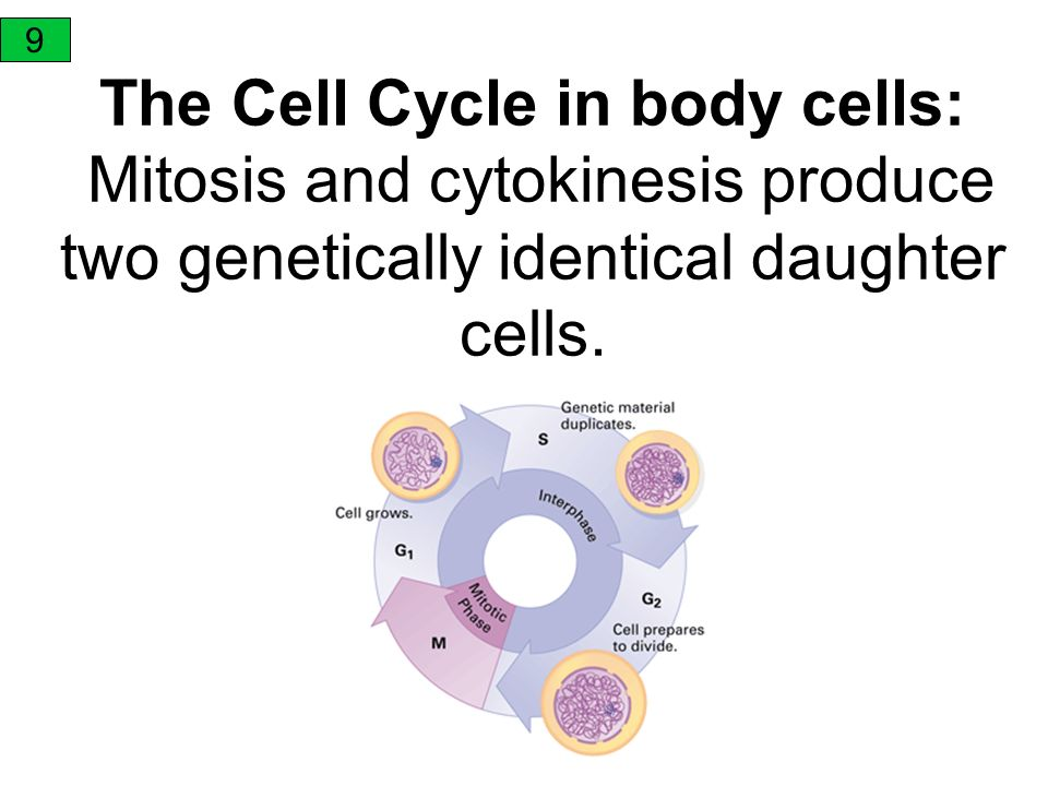 9 The Cell Cycle in body cells: Mitosis and cytokinesis produce two genetically identical daughter cells.