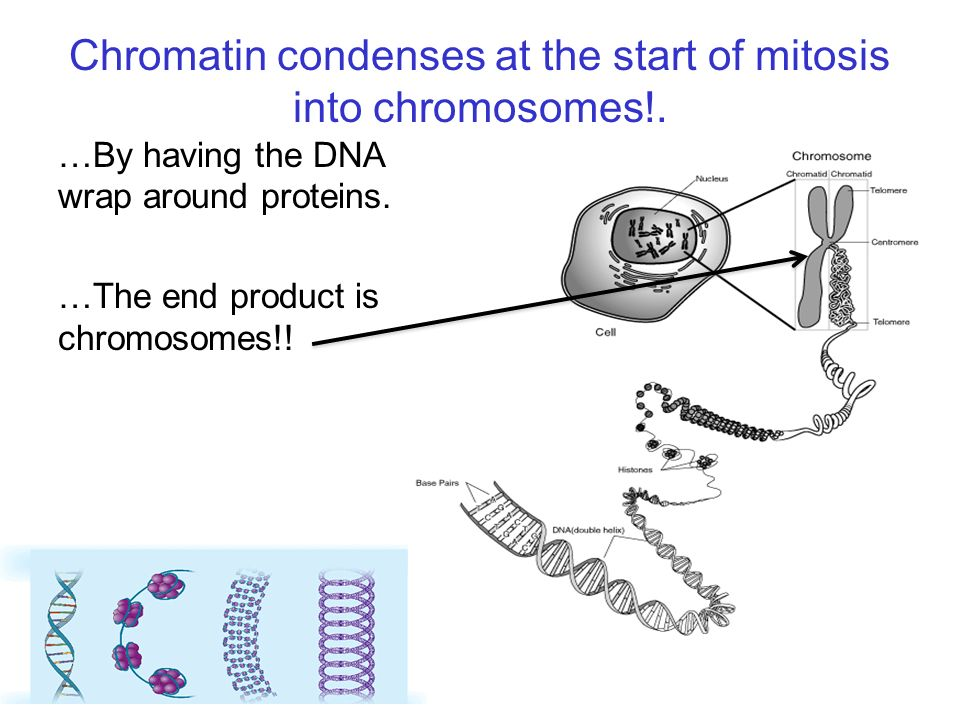 Chromatin condenses at the start of mitosis into chromosomes!.
