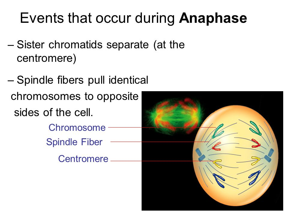 Events that occur during Anaphase