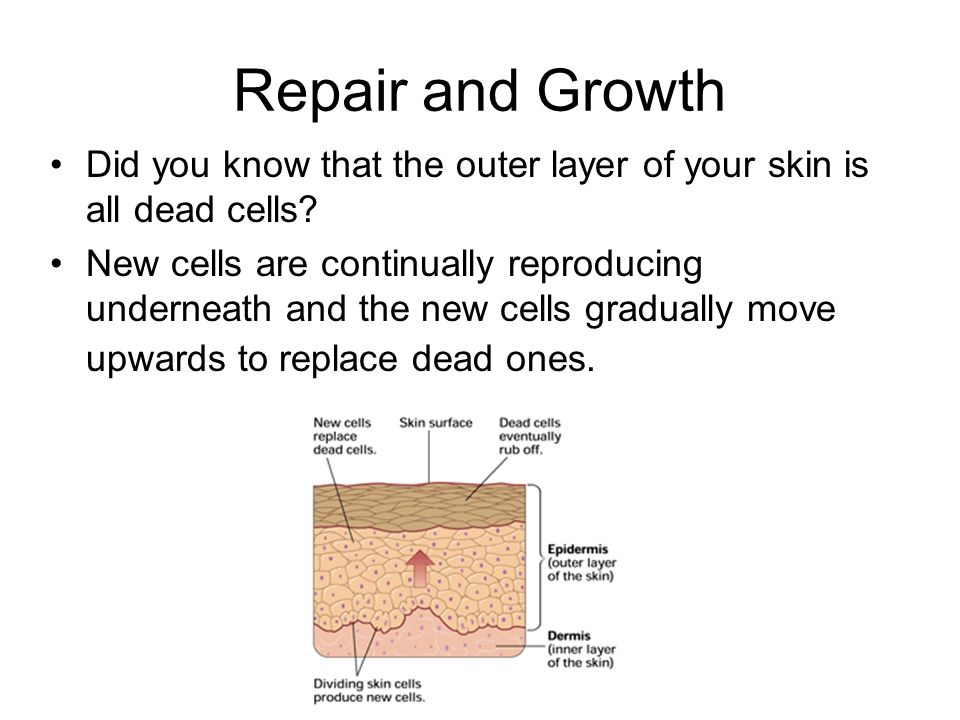 Repair and Growth Did you know that the outer layer of your skin is all dead cells